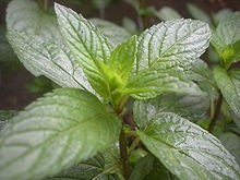 Peppermint (Premium) Essential Oil